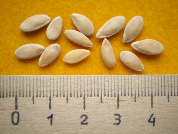 Семена-дыни-1