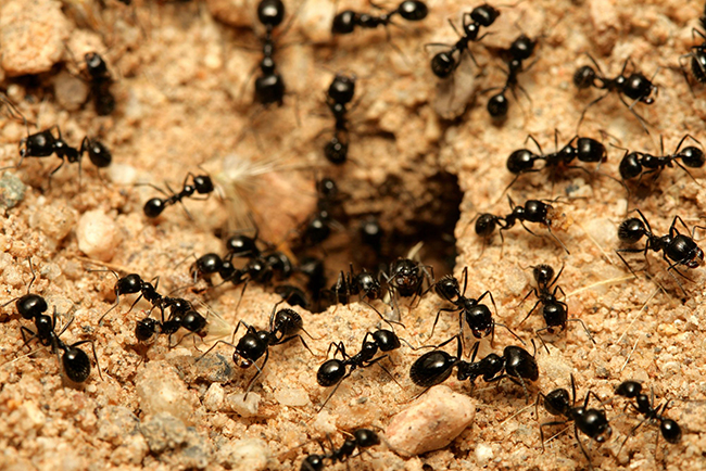 ter-insects-little-black-ant-article-3