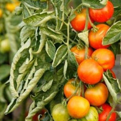 v-teplitse-skruchivayutsya-listya-u-pomidor-pochem